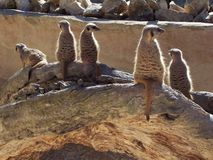 监视meerkat 免版税库存照片