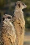 监视meerkats对 库存图片