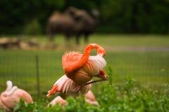 盒明亮的鸟在湖附近的一个绿色草甸 异乎寻常的火鸟饱和了桃红色和橘黄色与蓬松羽毛 免版税库存照片