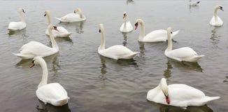 ?? 盒海的安静的表面上的美丽的白色天鹅 优美的豪华鸟 免版税库存照片