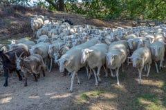 盒绵羊靠近是由牧羊人的主角 免版税库存图片