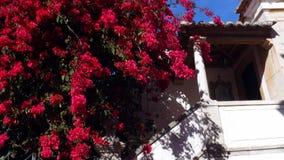 盖一个房子的门面的五颜六色的Bugambilia藤在卡斯卡伊斯,葡萄牙