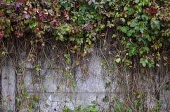 盖一个混凝土墙的狂放的酒 免版税图库摄影