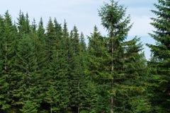 盖喀尔巴阡山脉的常青森林 库存照片