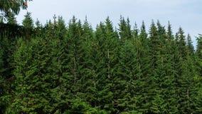 盖喀尔巴阡山脉的常青森林 免版税库存照片