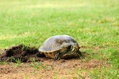 女性乌龟覆盖物鸡蛋 免版税库存图片