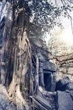 盖寺庙废墟的石头的密林树在吴哥窟暹粒,柬埔寨, 12世纪 图库摄影