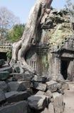 盖寺庙废墟的石头的密林树在吴哥窟暹粒,柬埔寨, 12世纪 库存图片