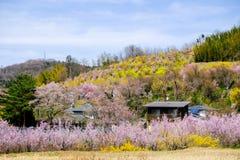 盖山坡, Hanamiyama公园,福岛, Tohoku,日本的多色开花的树 免版税库存图片