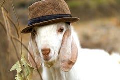 盖帽山羊 免版税库存照片
