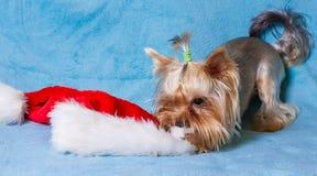 盖帽精密圣诞老人玩具佩带的yorkie 免版税库存图片