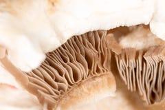 盖帽蘑菇作为背景 库存图片