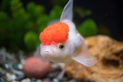 盖帽金鱼oranda红色 免版税库存照片