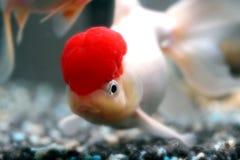 盖帽oranda红色 免版税库存照片