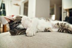 盖他的面孔的困小猫 库存照片