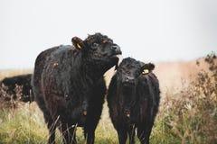盖洛韦牛 免版税库存照片