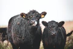 盖洛韦牛 库存图片