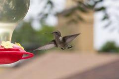 盘旋与舌头的蜂鸟准备好饲养者 免版税图库摄影