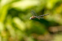 盘旋公移居叫卖小贩的蜻蜓直接飞过 免版税图库摄影