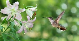 盘旋在一个俏丽的百合旁边的蜂鸟开花全景竞争 库存图片