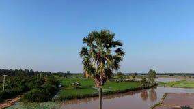 盘旋在一个泥泞,但是晴朗的米领域的一个孤立棕榈树身分附近的空中寄生虫视图在农村亚洲 股票录像