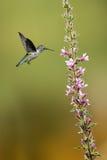 盘旋在一俏丽的lil旁边的蜂鸟(archilochus colubris) 库存图片