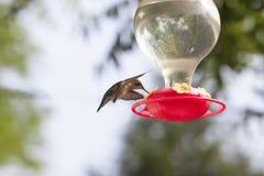 盘旋在与今后翼的饲养者的蜂鸟 库存图片