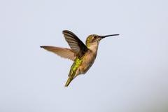 盘旋在与花蜜滴水的食物来源附近的母红宝石红喉刺莺的蜂鸟在她的额嘴技巧的  免版税图库摄影