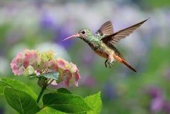 盘旋在八仙花属的红宝石红喉刺莺的蜂鸟 免版税图库摄影