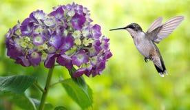 盘旋在八仙花属的蜂鸟 库存照片