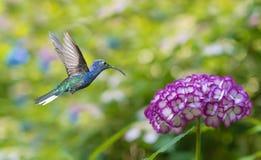 盘旋在八仙花属的蜂鸟 库存图片