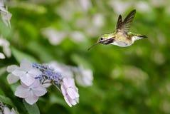 盘旋在八仙花属的蜂鸟 免版税库存照片