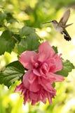 盘旋在山茶花上的黑Chinned蜂鸟 图库摄影