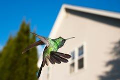 盘旋在房子的蜂鸟 库存照片