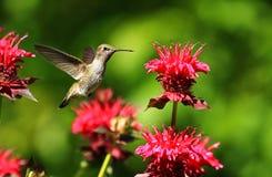 盘旋在桃红色花附近的蜂鸟 库存图片