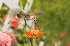 盘旋在橙色花的红宝石红喉刺莺的蜂鸟 免版税库存图片