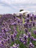 盘旋在淡紫色领域的蜂 图库摄影