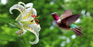 盘旋在百合旁边的蜂鸟开花全景 免版税库存照片