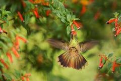 盘旋在红色花旁边的地方性蜂鸟在雨,热带森林,哥伦比亚,吮花蜜的鸟中从开花在庭院,花花公子里 图库摄影