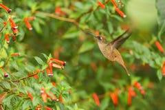 盘旋在红色花旁边的地方性蜂鸟在雨,热带森林,哥伦比亚,吮花蜜的鸟中从开花在庭院,花花公子里 免版税库存图片