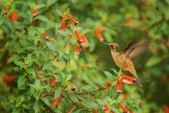 盘旋在红色花旁边的地方性蜂鸟在雨,热带森林,哥伦比亚,吮花蜜的鸟中从开花在庭院,花花公子里 免版税库存照片