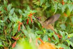 盘旋在红色花旁边的地方性蜂鸟在雨,热带森林,哥伦比亚,吮花蜜的鸟中从开花在庭院,花花公子里 免版税图库摄影