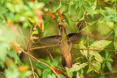 盘旋在红色花旁边的地方性蜂鸟在雨,热带森林,哥伦比亚,吮花蜜的鸟中从开花在庭院,花花公子里 库存照片