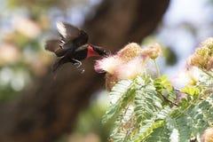 盘旋在花和博士的男性猩红色有胸腔的Sunbirds 库存图片