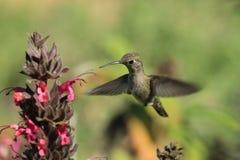 盘旋在花的蜂鸟 免版税图库摄影