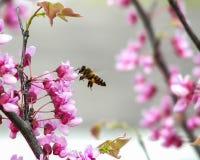 盘旋在花的蜜蜂 免版税库存照片