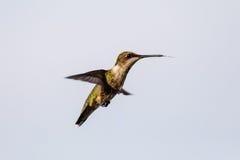 盘旋在食物来源附近的母红宝石红喉刺莺的蜂鸟 图库摄影
