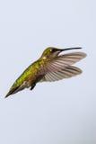 盘旋在食物来源附近的母红宝石红喉刺莺的蜂鸟 库存照片