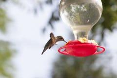 盘旋在饲养者的蜂鸟 免版税图库摄影