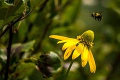 盘旋在黄色花的蜂蜜蜂 图库摄影